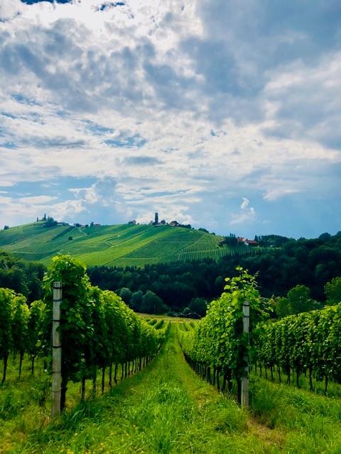 Weinreben in der Steiermark