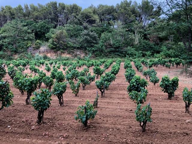 Weinreben – von der Traube zum Wein